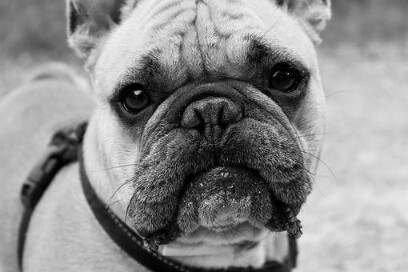 Bulldog frances triste