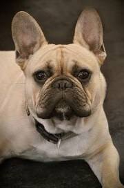 Bulldog frances color crema