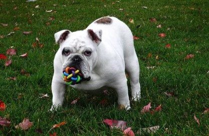 Bulldog ingles blanco