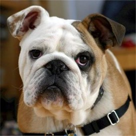 Bulldog ingles pliegues