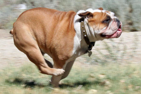 Bulldog corriendo